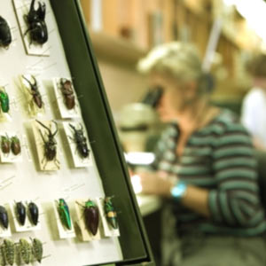 Tray of pinned beetles with a scientist examining specimens through a microscope